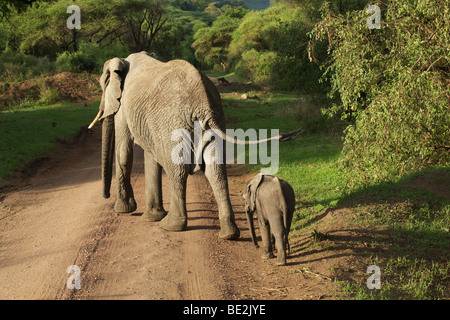 African Bush Elephant (Loxodonta africana), Lake Manyara National Park, Tanzania, Africa - Stock Photo