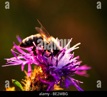 Close up of honey bee on knapweed flower - Stock Photo