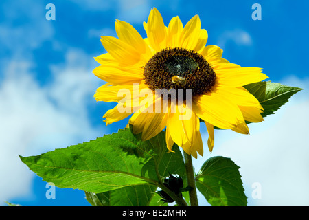 Bright yellow sunflower with dark center against a bright blue sky taken in summer with bee feeding - Stock Photo