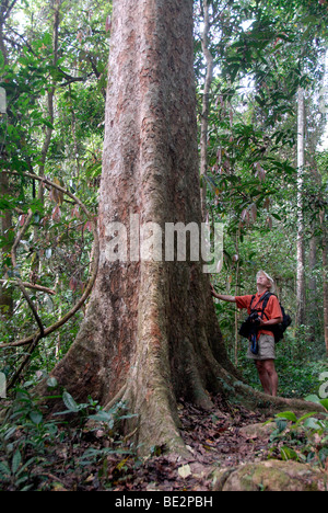 Giant tree, man standing in front of the tree in the jungle, mighty trunk and roots, Nam Lan Conservation Area, - Stock Photo