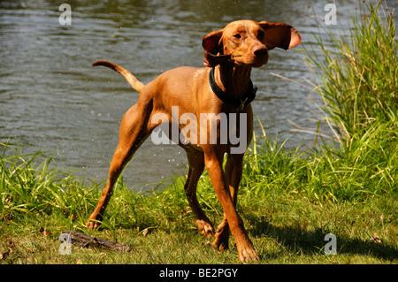 Stock photo of a dog shaking itself dry. - Stock Photo