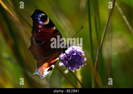 Red Admiral (Vanessa atalanta) butterfly - Stock Photo