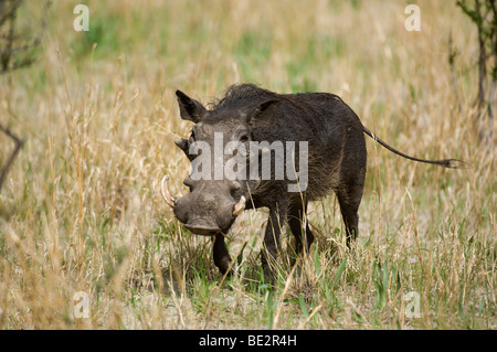 Warthog (Phacochoerus africanus), Central Kalahari, Botswana - Stock Photo