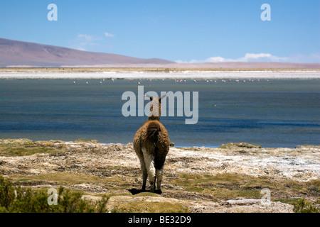 Llama looking out over Salar de Tara, with flamingos in the distance, Atacama Desert, Chile - Stock Photo