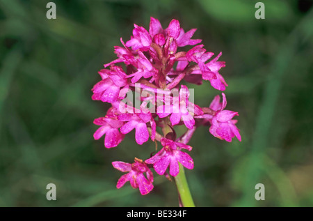 Pyramidal Orchid (Anacamptis pyramidalis), inflorescence - Stock Photo