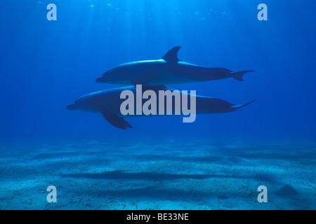 Bottlenose Dolphins, Tursiops truncatus, Nuweiba, Sinai, Red Sea, Egypt - Stock Photo