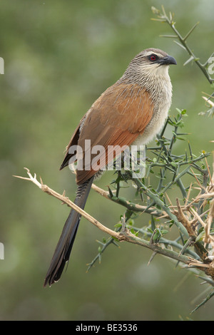 White-browed Coucal (Centropus superciliosus), Tarangire National Park, Tanzania, Africa - Stock Photo