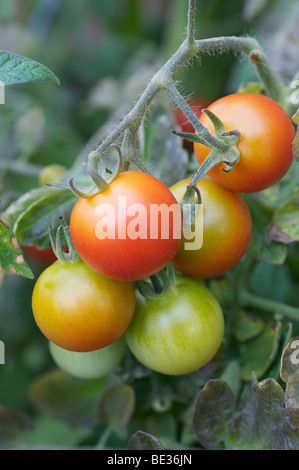 Tomatoes on the vine in various stages of maturity - Stock Photo