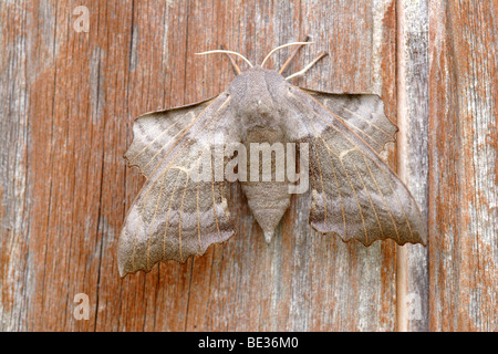 Poplar Hawkmoth (Laothoe populi) resting on wood, England, UK - Stock Photo