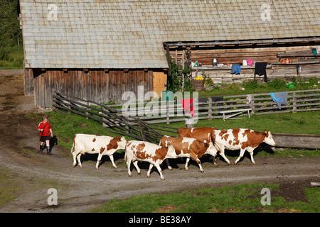 Cows being sent to pasture, farm in Huettwinkltal, Rauris valley, Pinzgau, federal state of Salzburg, Austria, Europe - Stock Photo