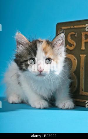 Norwegian Forest Cat, kitten sitting in front of nostalgic box - Stock Photo