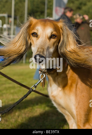 Greyhound, Greyhound Coursing, Hoope, Lower Saxony, Germany, Europe - Stock Photo