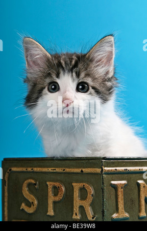Norwegian Forest Cat, kitten in nostalgic box - Stock Photo