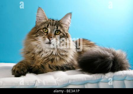 Norwegian Forest cat lying - Stock Photo
