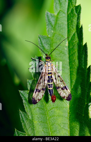 Male Common Scorpionfly (Panorpa communis) on leaf of a stinging-nettle - Stock Photo