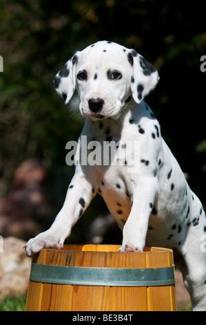 Dalmatian puppy climbing onto wooden barrel - Stock Photo