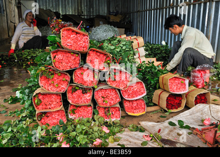 Stacks of roses and two workers, man, woman, in a rose-growing factory, Dalat, Central Highlands, Vietnam, Asia - Stock Photo