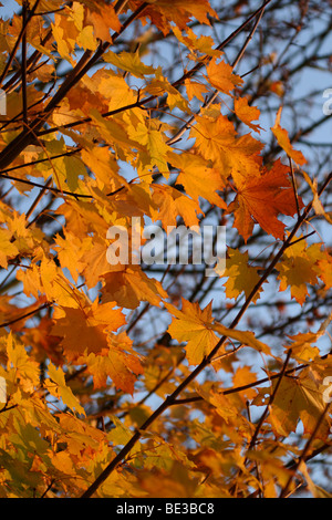 Mass of beautiful golden orange autumn Maple (Acer) leaves growing on tree branches against blue sky at Richmond - Stock Photo