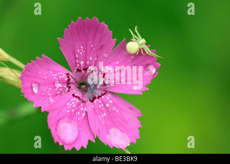 Goldenrod Crab Spider (Misumena vatia) waiting for prey on the blossom of a Maiden Pink (Dianthus deltoides) - Stock Photo