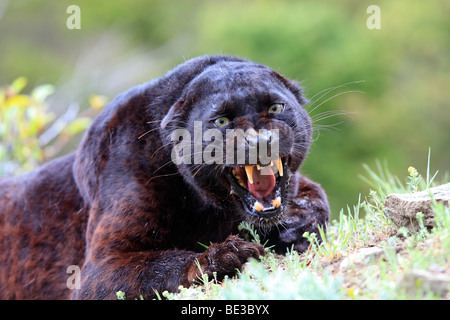 Black Panther (Panthera pardus). Black color phase of leopard, snarling - Stock Photo
