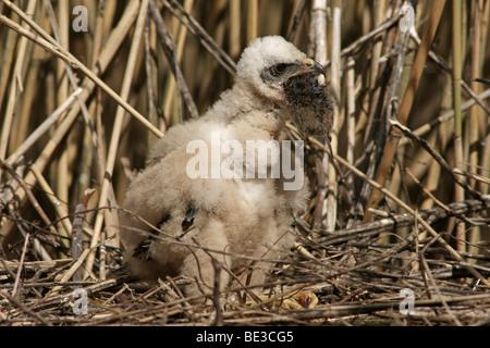 Western Marsh Harrier (Circus aeruginosus), chick - Stock Photo