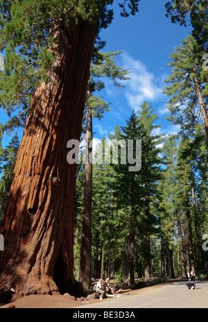 Mariposa Grove, Yosemite National Park - Stock Photo