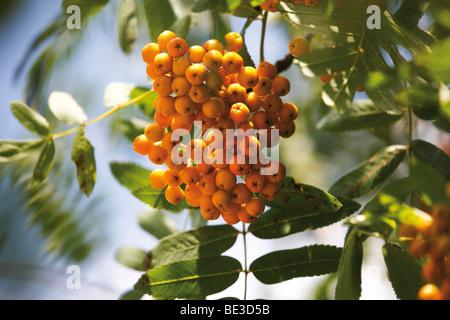 Yellow rowan berries of the rowan tree - Stock Photo