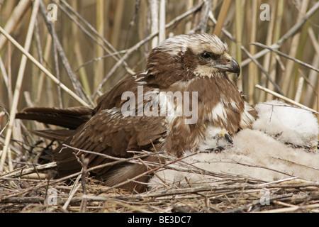 Western Marsh Harrier (Circus aeruginosus) at nest with young - Stock Photo