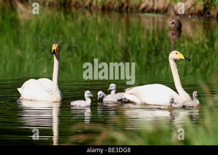 Whooper Swans (Cygnus cygnus) with chicks, Lapland, Finland, Europe - Stock Photo