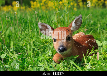 White-tailed Deer (Odocoileus virginianus), fawn lying on flowering meadow. - Stock Photo