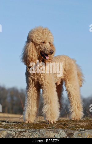 Standing large poodle, giant poodle - Stock Photo