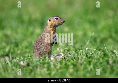 European ground squirrel, European Souslik (citellus Citellus, Spermophilus citellus) standing on its hind legs - Stock Photo