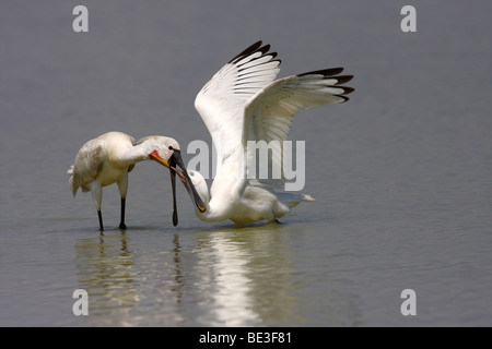 Junger spoonbill (Platalea leucorodia), is fed by an adult bird for food - Stock Photo