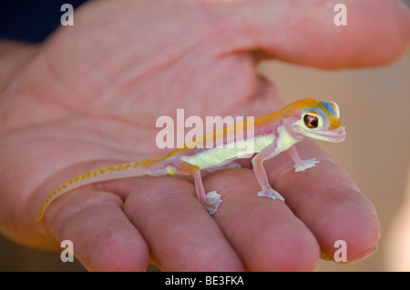 colorful Palmato Gecko, one of the creatures of the Namib Naukluft Desert in Namibia - Stock Photo