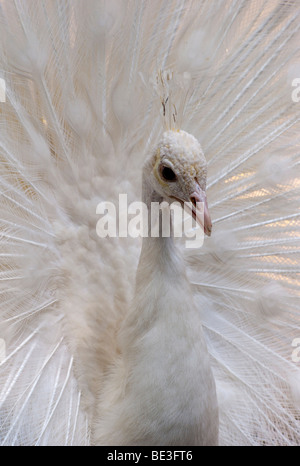 White Peacock (Pavo cristatus mut. Alba), white mutation, courtship display - Stock Photo