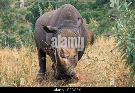 Black Rhinoceros (Diceros bicornis), Masai Mara, Kenya, Africa - Stock Photo