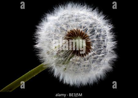 Withered Dandelion (Taraxacum), blowball - Stock Photo