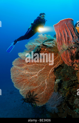 Diver looking at at reef formation with sea fan (Anella mollis) and sponge, coral, Kuda, Bali, Indonesia, Pacific Ocean