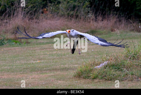 Secretary Bird (saggitarius serpentarius) in flight - Stock Photo