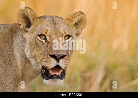 Lioness (Panthera leo), Moremi National Park, Okavango Delta, Botswana, Africa - Stock Photo
