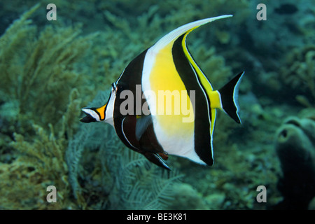 Moorish idol (Zanclus cornutus), Kuda, Bali, Indonesia, Pacific Ocean, - Stock Photo
