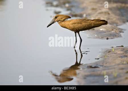Hammerkop (Scopus umbretta), Moremi National Park, Okavango Delta, Botswana, Africa - Stock Photo