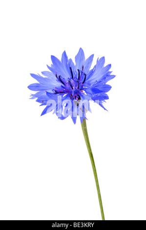 Cornflower (Centaurea cyanus) - Stock Photo