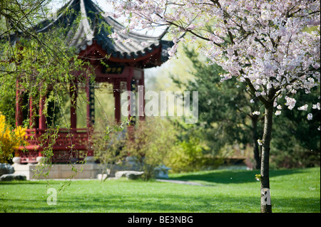 Gardens of the World in the recreational park of Marzahn, Chinese Garden Pavilion, cherry blossom, Berlin, Germany, - Stock Photo