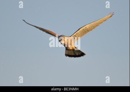 Kestrel (Falco tinnunculus) - Stock Photo
