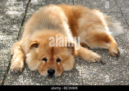 A male Chow Chow dog resting on stone slabs - Stock Photo