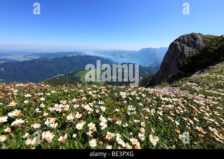 White dryas (Dryas octopetala), Schafberg mountain, in the back Attersee lake, Salzkammergut region, Land Salzburg - Stock Photo