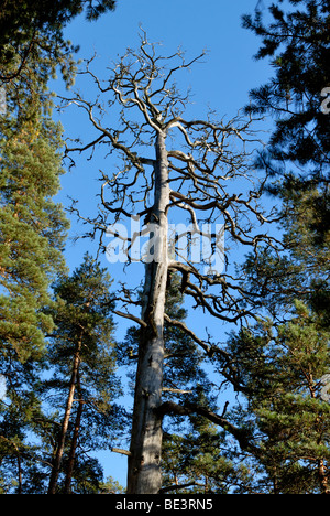 A dead old barkless pine tree, Pinus sylvestris, standing in the forest. Porvoo, Finland, Scandinavia, Europe. - Stock Photo