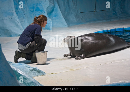 Woman trainer works with bearded seal in The Polaria museum and aquarium in Tromsø, Norway. - Stock Photo