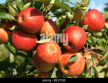 Apple tree / trees pictured during the harvest time in the Old Land/Jork, Lower Saxony, Germany September 16, 2009. - Stock Photo